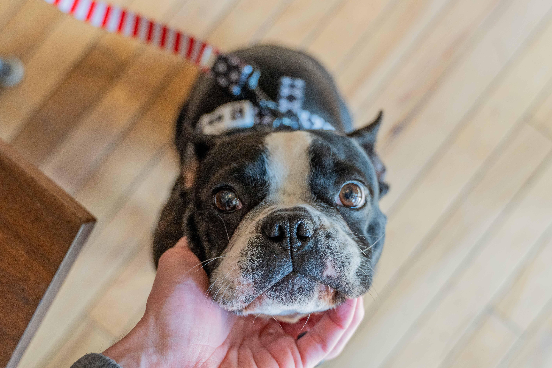 síndrome braquicefálico canino