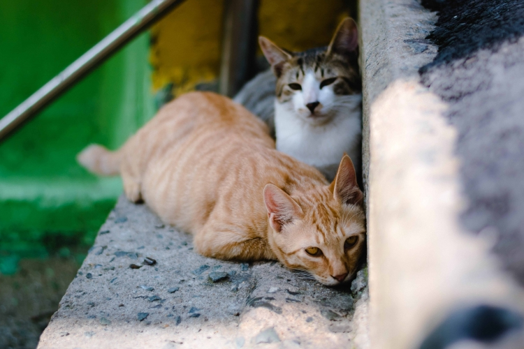 inmunodeficiencia felina (FIV)